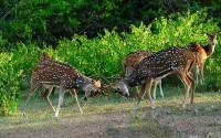 ????? ???? ???? (Sparring Chitals), Bandipur National Park, Bandipur, Chamarajanagar district of southern Karnataka,India