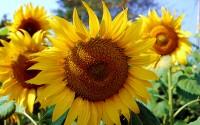 ???????? (Sunflower), Kurnool-Chittor Highway, Andhra Pradesh, India