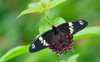 ??????? ???? ?????  (Crimson Rose Butterfly), Bannerghatta National Park, Karnataka, India