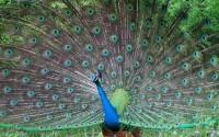 ??? (Peacock)