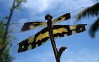 ???????????? (Dragonfly), Kerala, India