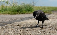 raven black bird