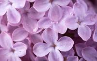 lilac desktop background