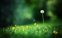 desktop backgrounds dandelion