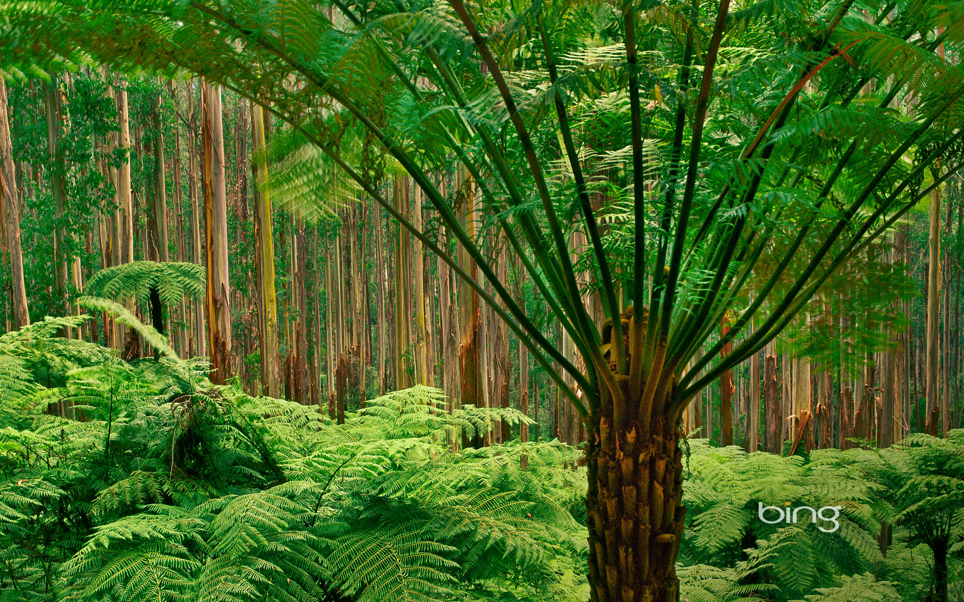 Soft tree ferns in the eucalyptus forest of Dandenong Ranges National Park, Australia   HD ...