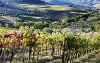 Grapevines and olive trees, Panzano in Chianti, Tuscany, Italy