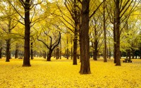 Fall Ginkgo trees, Yoyogi Park, Shibuya-ku, Tokyo, Japan