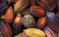 Harvested cacao, St Lucia, Caribbean
