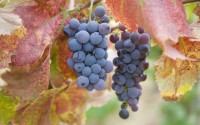 Fresh grapes on vines, California, United States