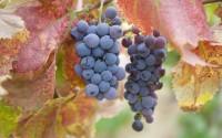 Fresh grapes on vines, California, United States