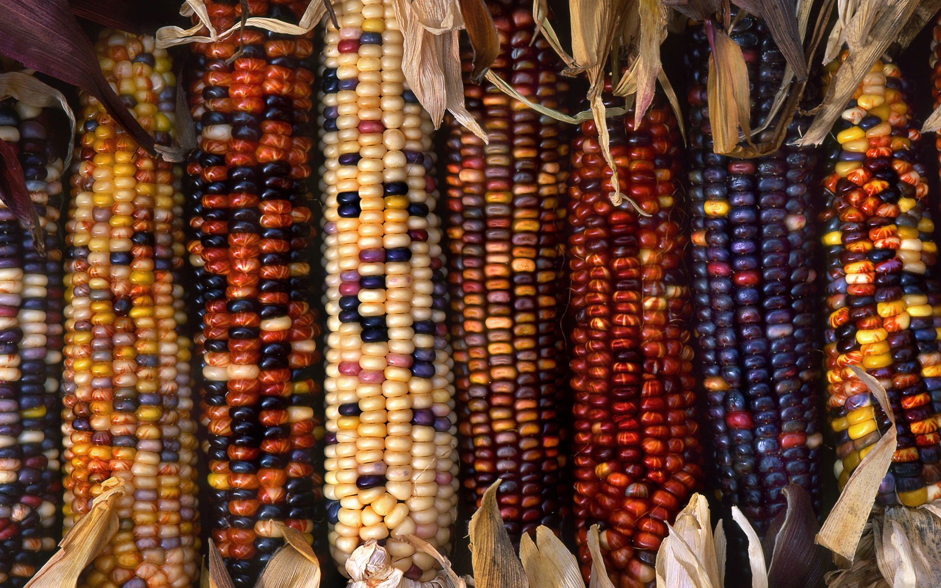 Multi Colored Indian Corn At A Farm In Marion County