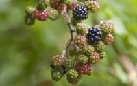 Blackberries ripening on vine