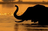 Elephants (Loxodonta Africana) at sunset in Chobe National Park, Botswana