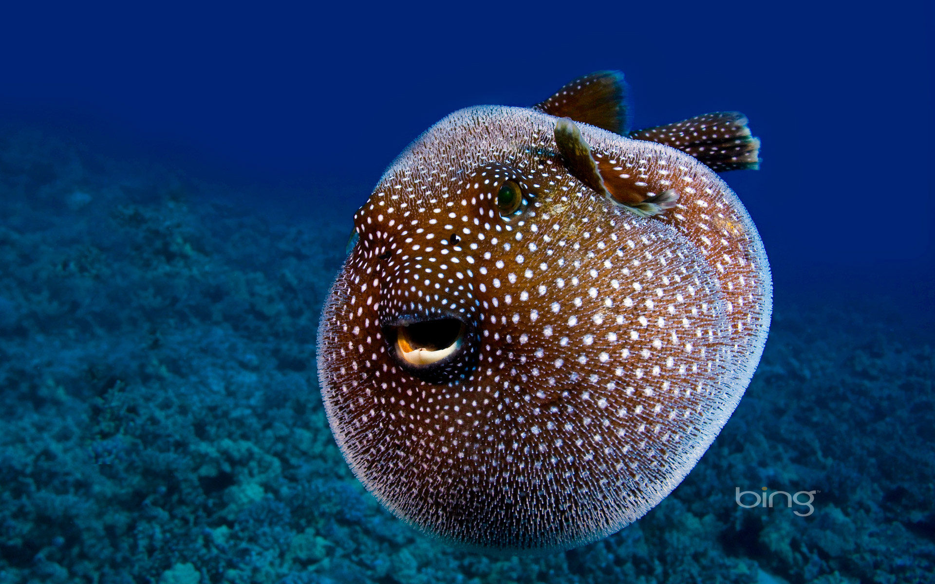 Weekly bing wallpapers 22 28 january 2013 hd wallpapers for Puffer fish images
