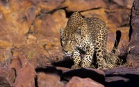 Leopard (Panthera pardus) hunting, Okonjima, Namibia