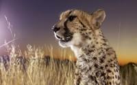 Close-up of Cheetah (Acinonyx jubatus) sitting in grass, Namibia