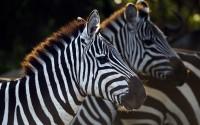 Common or Plains Zebra (Equus quagga burchellii) herd standing together, Maasai Mara National Reserve, Kenya