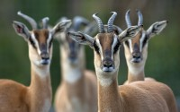 Soemmerring's Gazelle (Nanger soemmerringii) males and females