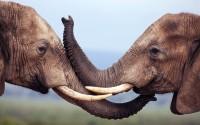 Elephants (Loxodonta africana), Addo National Park, South Africa