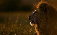Lion at sunrise, Maasai Mara, Kenya