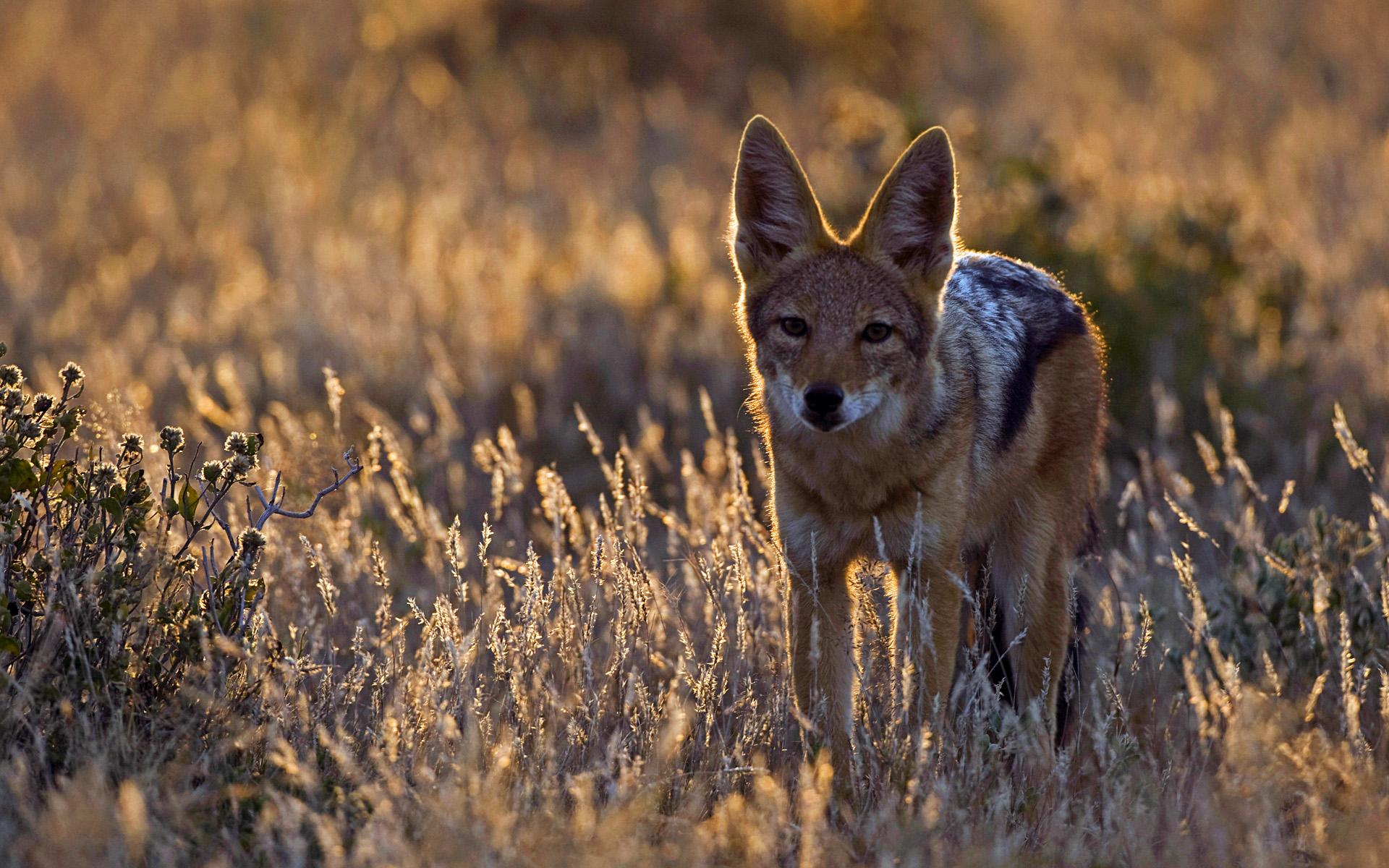 Black-backed Jackal (Canis mesomelas), Botswana   HD