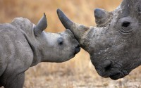 Baby white rhinoceros nuzzling its mother, South Africa