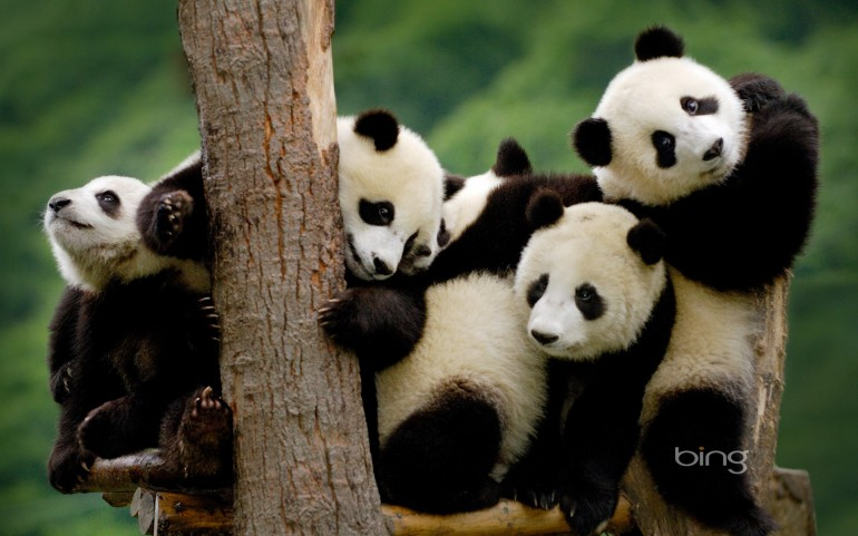 Giant panda cubs at the Wolong National Nature Reserve in Sichuan Province, China