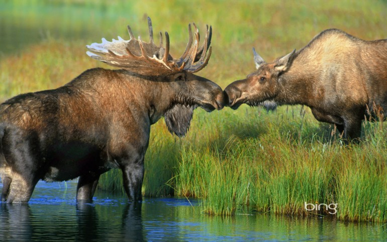 Pair of moose near Wonder Lake in Denali National Park, Alaska