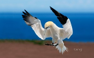 Northern gannet at Bonaventure Island and Percé Rock National Park, Quebec, Canada
