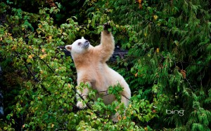 Kermode bear in Great Bear Rainforest (North and Central Coast), British Columbia, Canada
