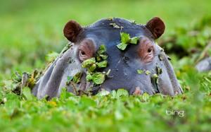 Hippopotamus, Masai Mara National Reserve, Kenya