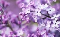 Pocahontas Lilac (Syringa x hyacinthiflora 'Pocahontas')