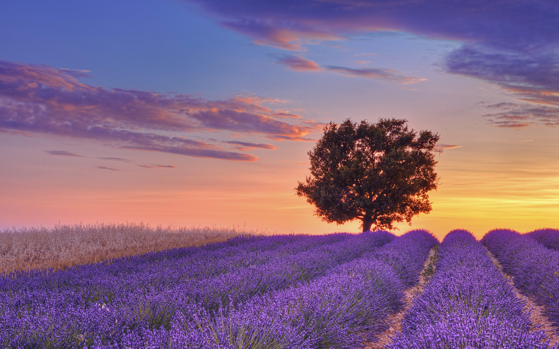 English Lavender Field With Tree At Sunset Valensole