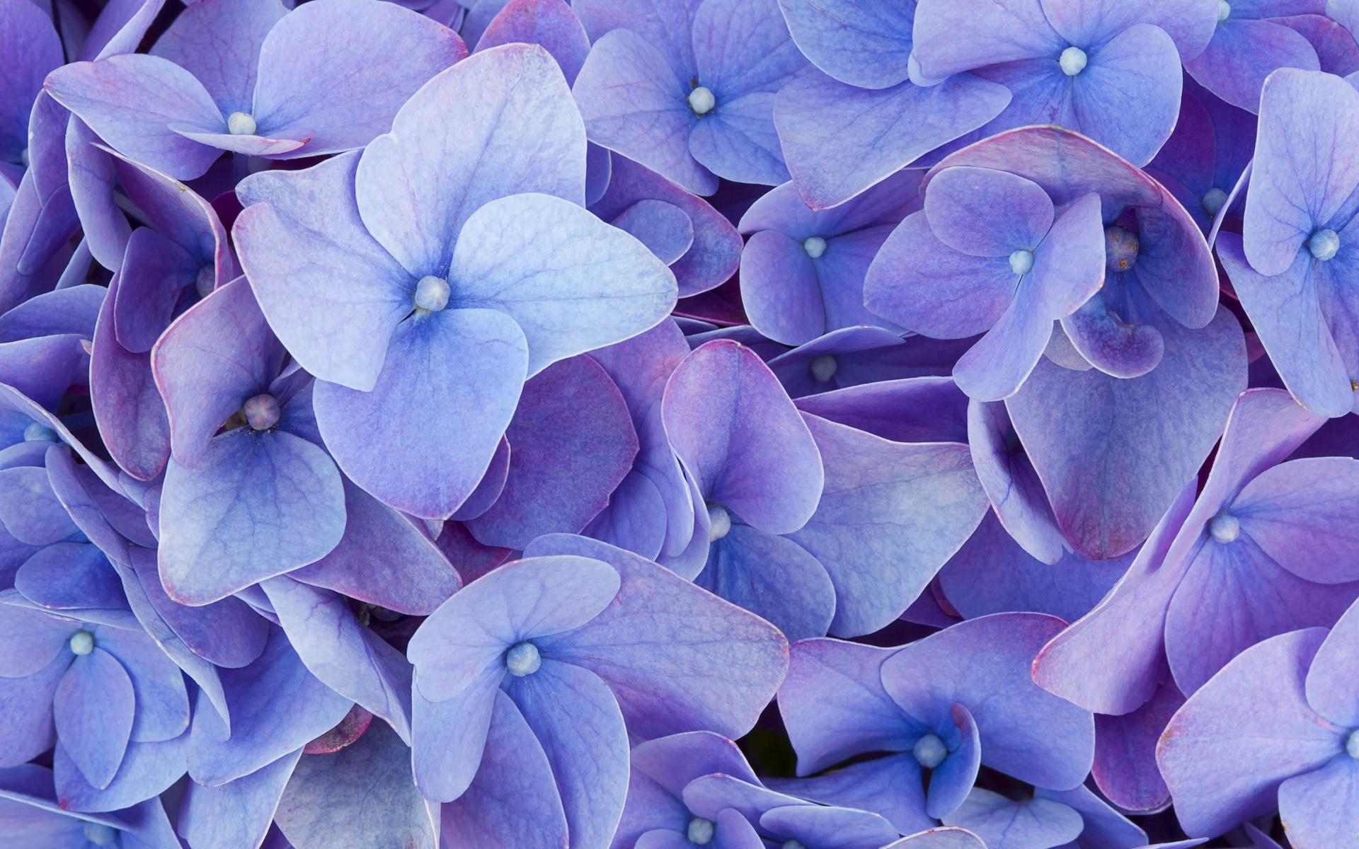 Hydrangea | HD Wallpapers Ubuntu Wallpaper Purple