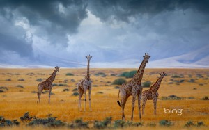herd of gireffes in africa