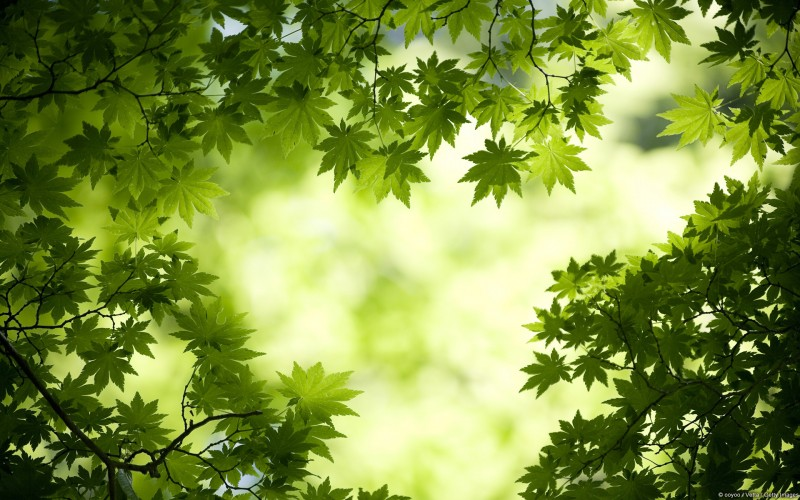 green maple leaves hq wallpaper