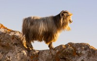 mountain wild goat