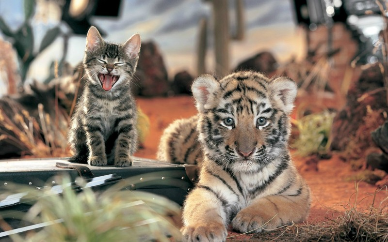 small tiger and a kitten wallpaper