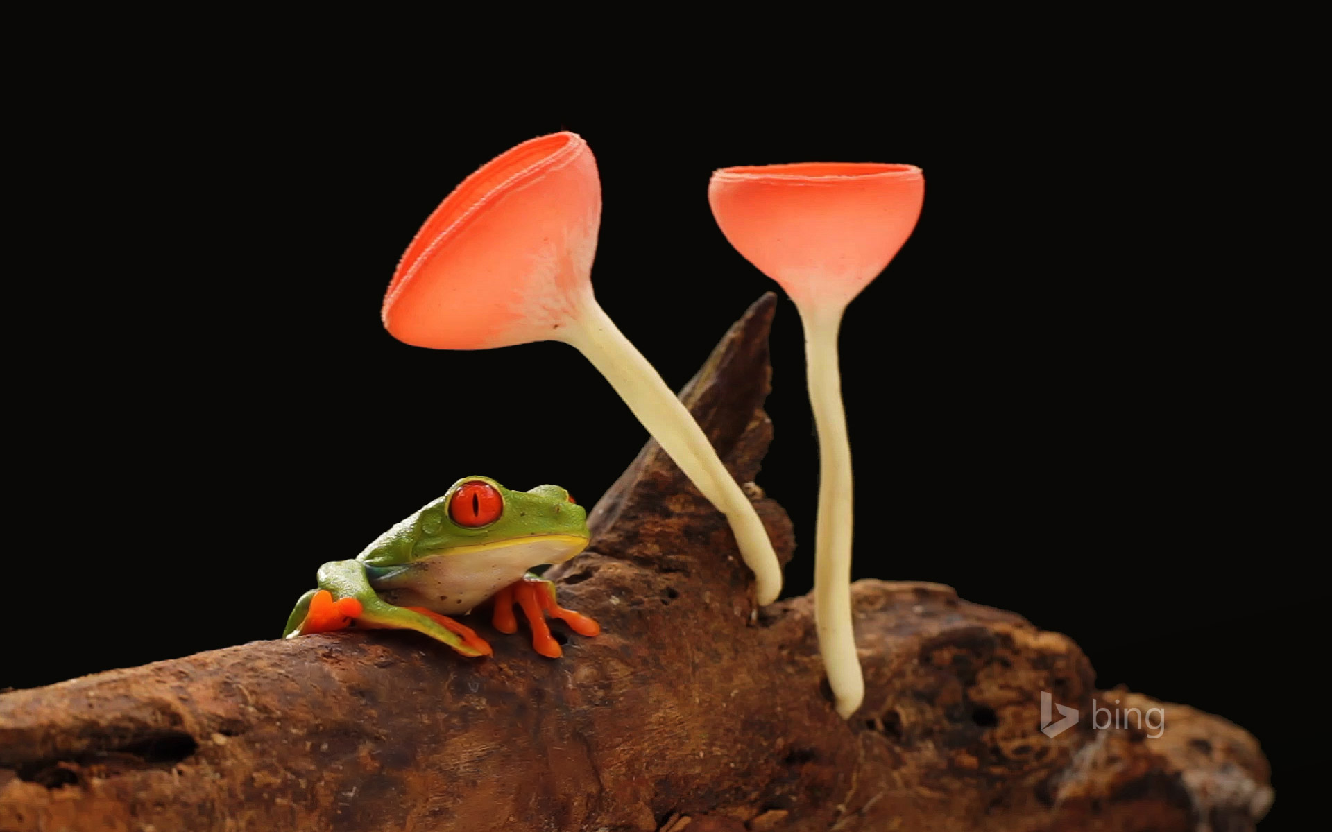 Red-eyed or gaudy leaf frog with mushrooms