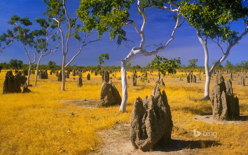 Termite mounds and snappy gums in savannah grassland