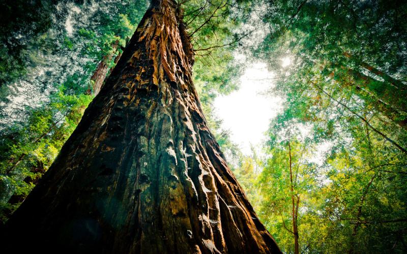 Giant sequoia - redwood - HD wallpapers