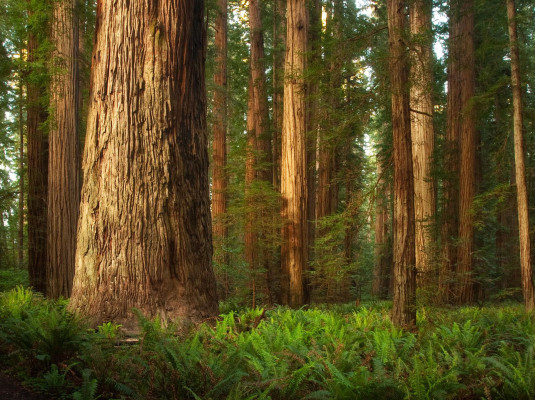 5 Amazing HD wallpapers of Redwood forests to calm your desktop