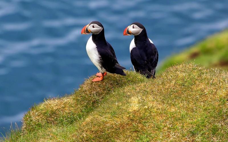 Puffins on Heimaey island